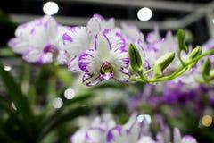 Fleur de floraison d'orchidées de Dendrobium avec le fond de fleur Photos stock
