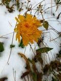 Fleur de floraison dans la première neige images libres de droits