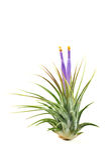 Fleur de floraison de bromélia Photos libres de droits