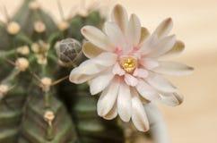 Fleur de floraison de cactus Photographie stock libre de droits