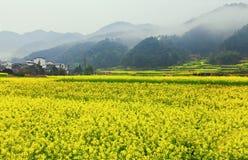 Fleur de floraison de Canola Images libres de droits