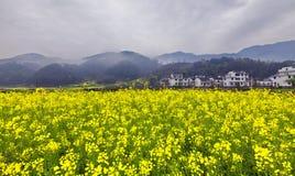 Fleur de floraison de Canola Photos stock