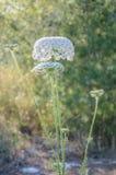 Fleur de floraison de carotte sauvage Image libre de droits