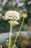 Fleur de floraison de carotte sauvage Images stock