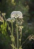 Fleur de floraison de carotte sauvage Photo stock