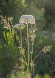 Fleur de floraison de carotte sauvage Images libres de droits