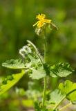 Fleur de floraison de celandine Photographie stock libre de droits