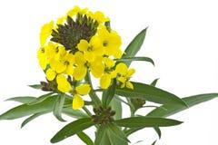 Fleur de floraison de cheri de Cheiranthus Photo libre de droits