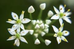 Fleur de floraison de ciboulette Photographie stock libre de droits