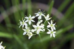 Fleur de floraison de ciboulette Image libre de droits