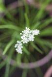 Fleur de floraison de ciboulette Photo stock
