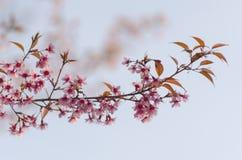 Fleur de floraison de fleurs de Sakura dans Phu-Lom-Lo Images libres de droits