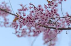 Fleur de floraison de fleurs de Sakura dans Phu-Lom-Lo Photographie stock