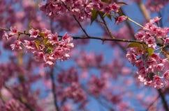 Fleur de floraison de fleurs de Sakura dans Phu-Lom-Lo Photographie stock libre de droits