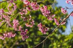 Fleur de floraison de fleurs de Sakura dans Phu-Lom-Lo Image libre de droits