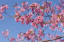 Fleur de floraison de fleurs de Sakura dans Phu-Lom-Lo Images stock