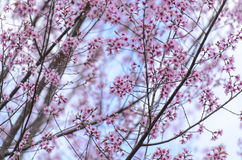 Fleur de floraison de fleurs de Sakura dans Phu-Lom-Lo image stock