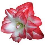 Fleur de floraison de rouge et blanche Image libre de droits