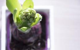 Fleur de floraison de jacinthe avec vert clair image libre de droits