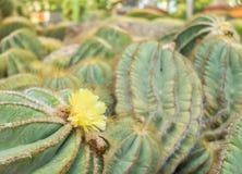 Fleur de floraison jaune d'usine de cactus dans le grand jardin Photo libre de droits