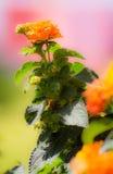 Fleur de floraison orange de camara de Lantana Photographie stock libre de droits