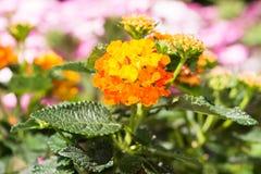 Fleur de floraison orange de camara de Lantana image stock