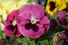 Fleur de floraison de pensée dans le jardin Photographie stock libre de droits