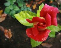 Fleur de floraison rouge magnifique avec les feuilles vertes Images stock