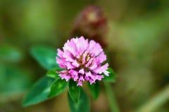 Fleur de floraison de trèfle Photos stock