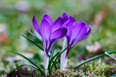 Fleur de forêt de primevère de mars avril de ressort Image stock