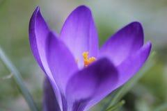 Fleur de forêt de primevère de mars avril de ressort Photographie stock libre de droits