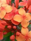 Fleur de fourmi Image libre de droits