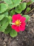 Fleur de fraise photos libres de droits