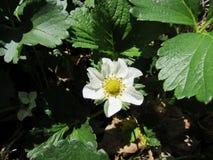Fleur de fraise photo stock