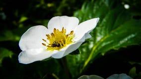 Fleur de fraise avec la fourmi Images libres de droits
