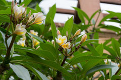 Fleur de Frangipane images stock