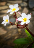Fleur de Frangipani Photographie stock