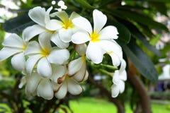 Fleur de Frangipani Photos stock