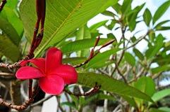 Fleur de Frangipani Images libres de droits