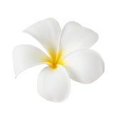Fleur de Frangipani d'isolement sur le blanc Photographie stock