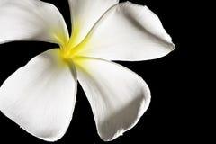 Fleur de Frangipani (Plumeria) Images libres de droits