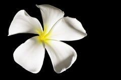 Fleur de Frangipani (Plumeria) Image libre de droits