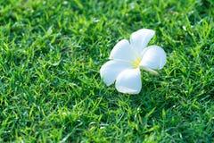 fleur de frangipani sur le fond image libre de droits