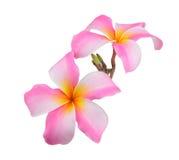 Fleur de Frangipani sur le fond blanc Photos stock
