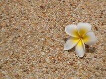 Fleur de Frangipani sur le plancher image stock