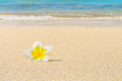 Fleur de Frangipani sur le sable Images libres de droits