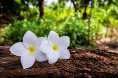 Fleur de Frangipani sur un rondin et un fond trouble Image stock
