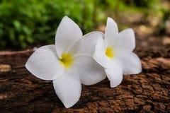 Fleur de Frangipani sur un rondin et un fond trouble Images stock