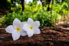 Fleur de Frangipani sur un rondin et un fond trouble Photos stock