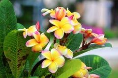 Fleur de Frangipanis Image stock